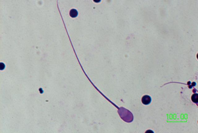 Transcaspian Urial 4