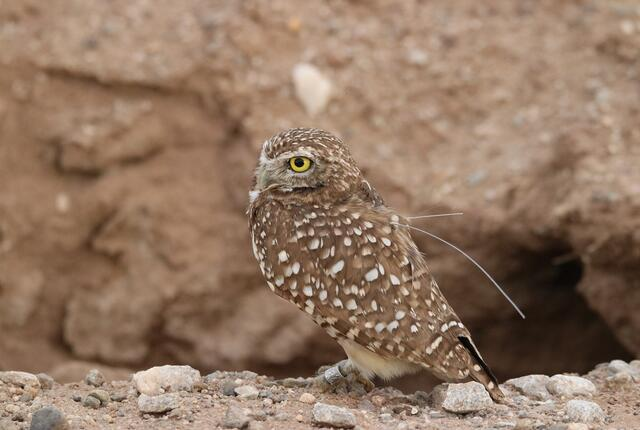 burrowing owl with transmitter in the field