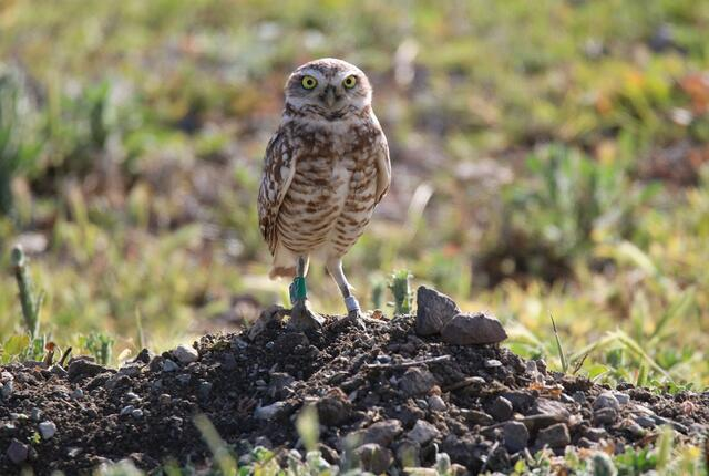 banded burrowing owl