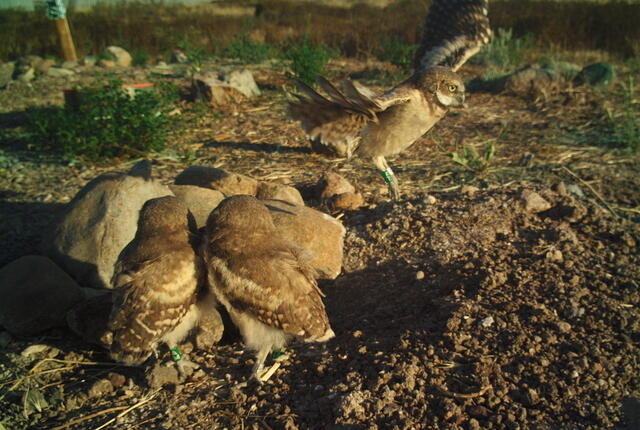 camera trap image of juvenile burrowing owl in flight