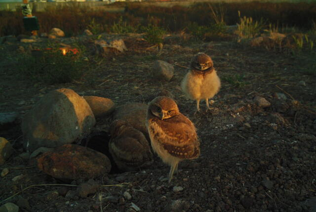 camera trap image of burrowing owlet