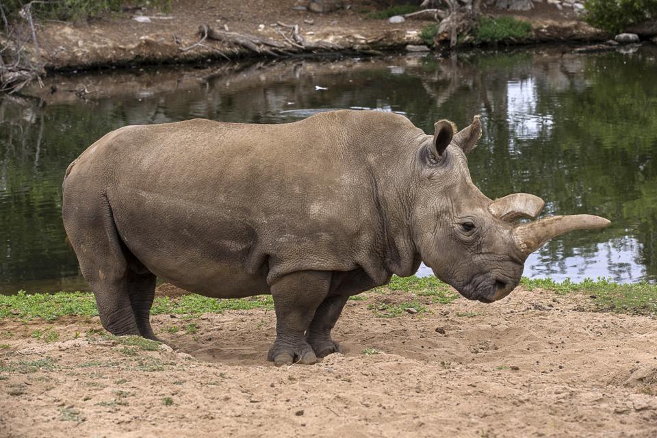 Northern White Rhinoceros