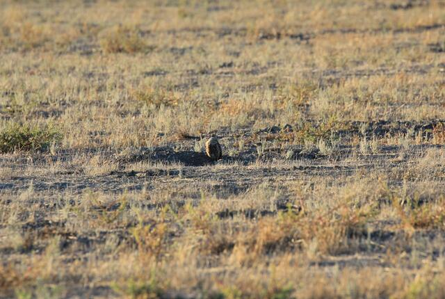 A burrowing owl stands sentinel next to a burrow dug by a California ground squirrel