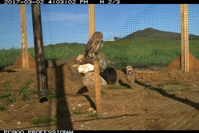Two burrowing owls in an acclimation enclosure prior to release at a protected ecological reserve