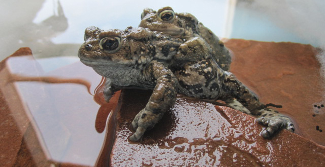 Southern Rocky Mountain Boreal Toad