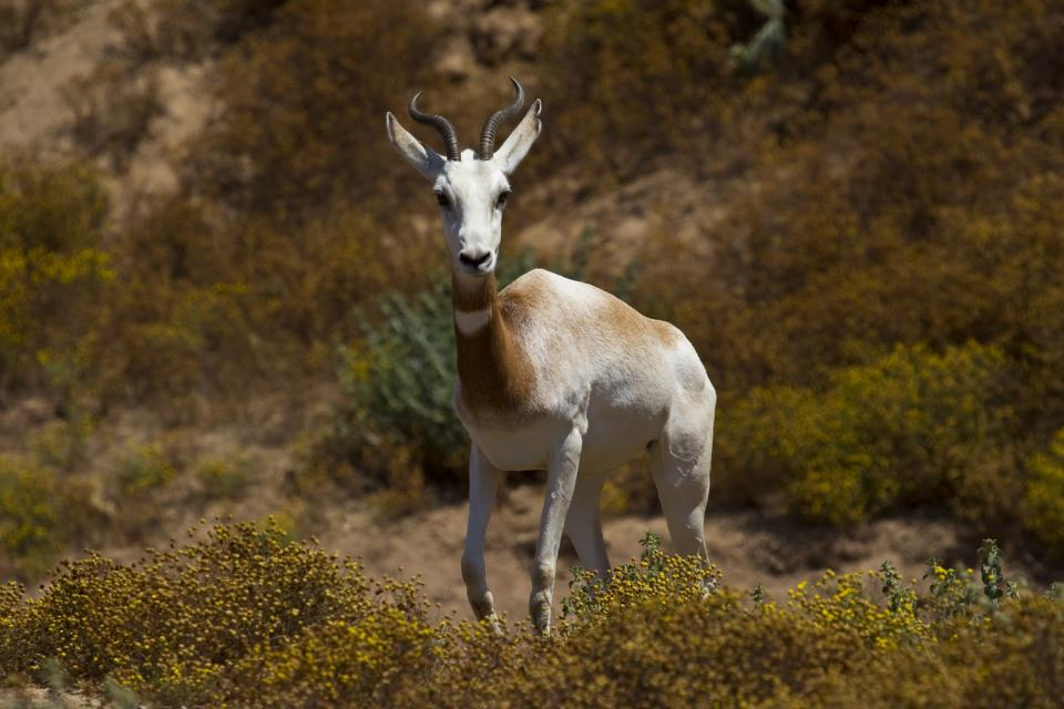 addra gazelle