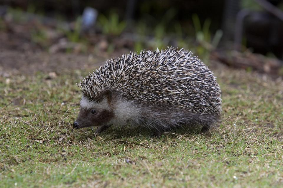 Four-toed African Hedgehog