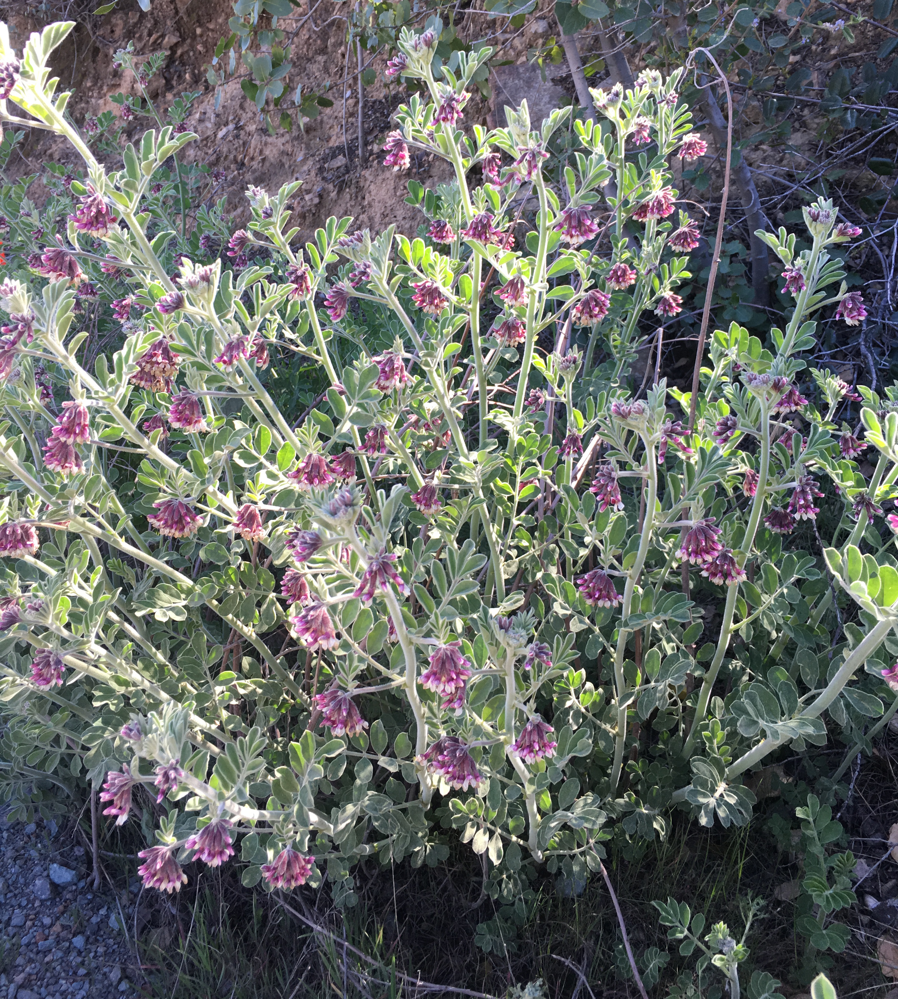 Otay Mountain lotus is a beautiful plant in the pea family. This variety is found in only a few places on the planet.