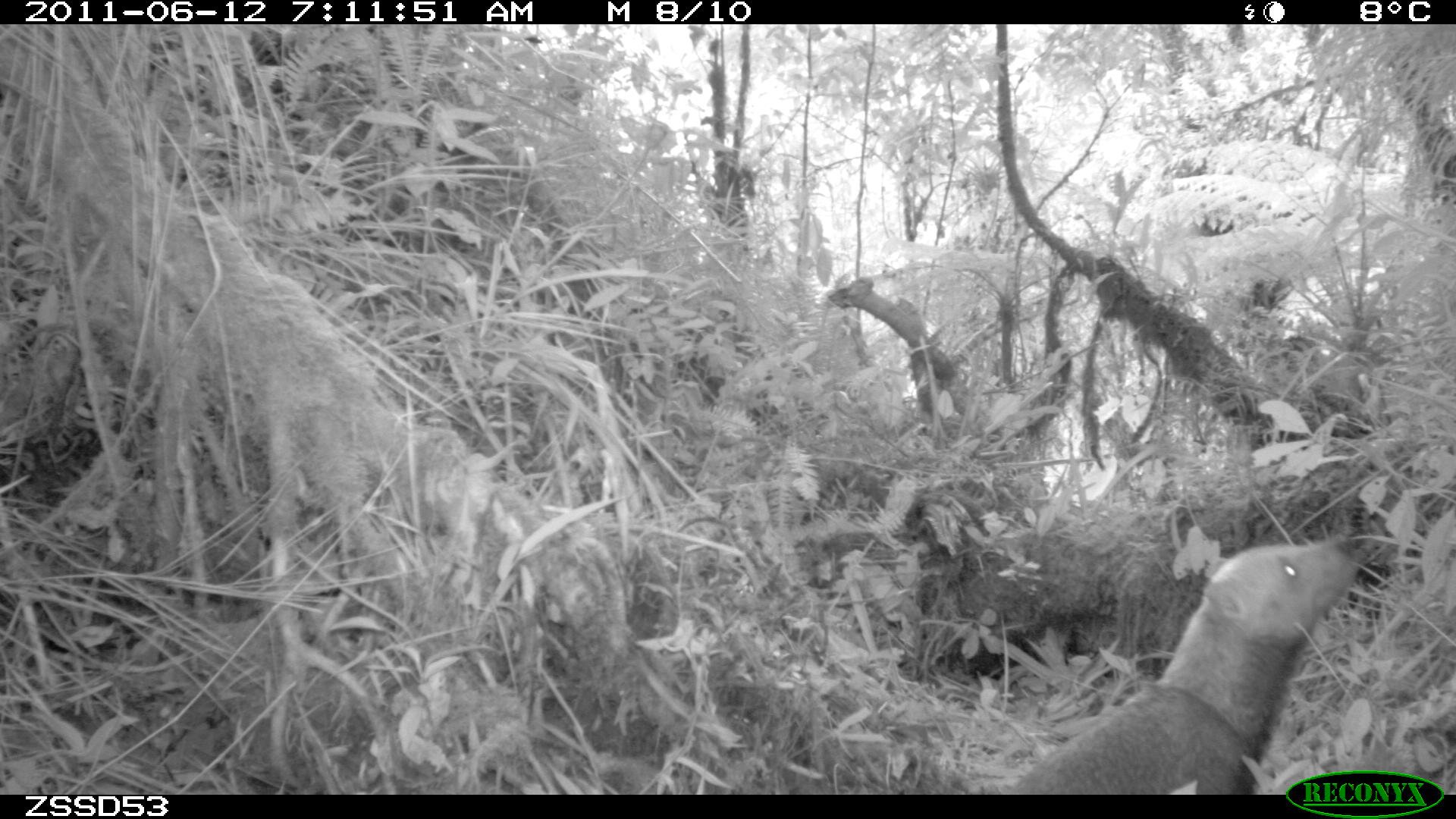 A camera trap photo of a bush dog in the cloud forest at an elevation of 2130m (6988').