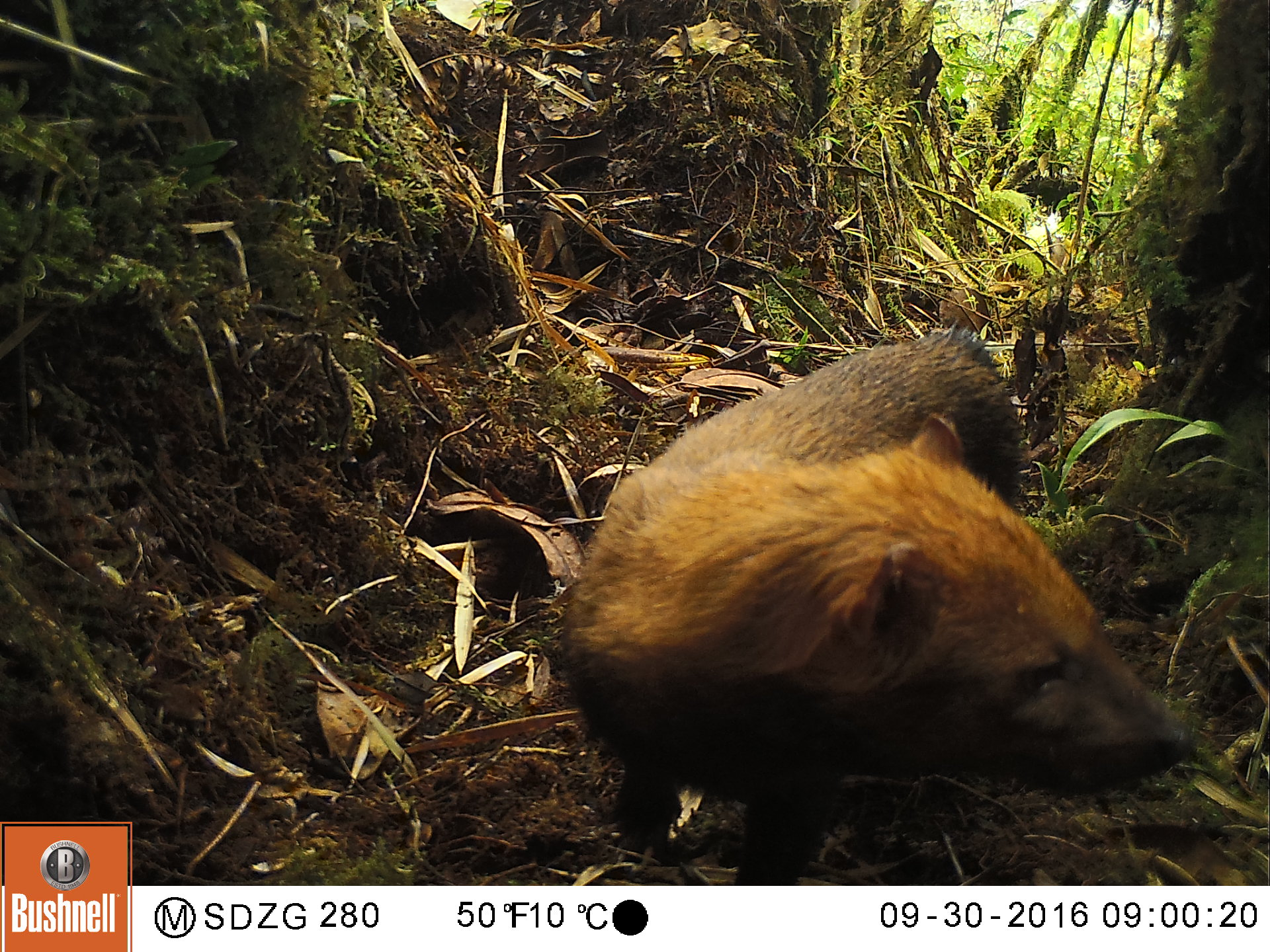 A camera trap photo of a bush dog in the cloud forest at an elevation of 2800m (9200').
