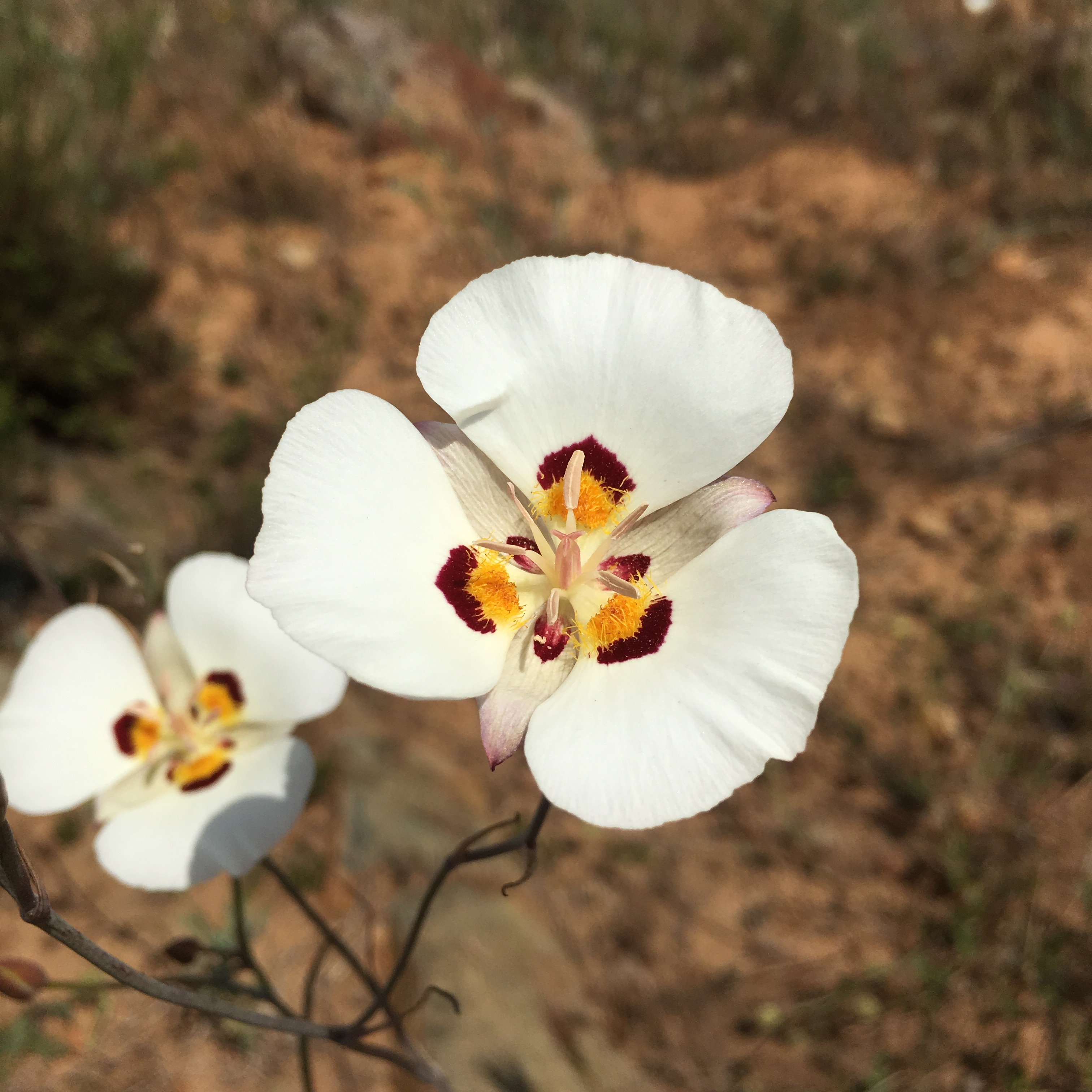 Calochortus dunnii has white petals with rust-colored spots above yellow, hairy nectaries.  Photo by Joe Davitt
