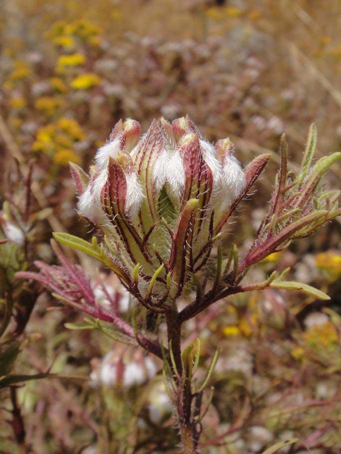 Dicranostegia orcuttiana is a member of the bird's beaks, plants with flower spikes that look like many little upward facing beaks. Photo ©2010 Anna Bennett
