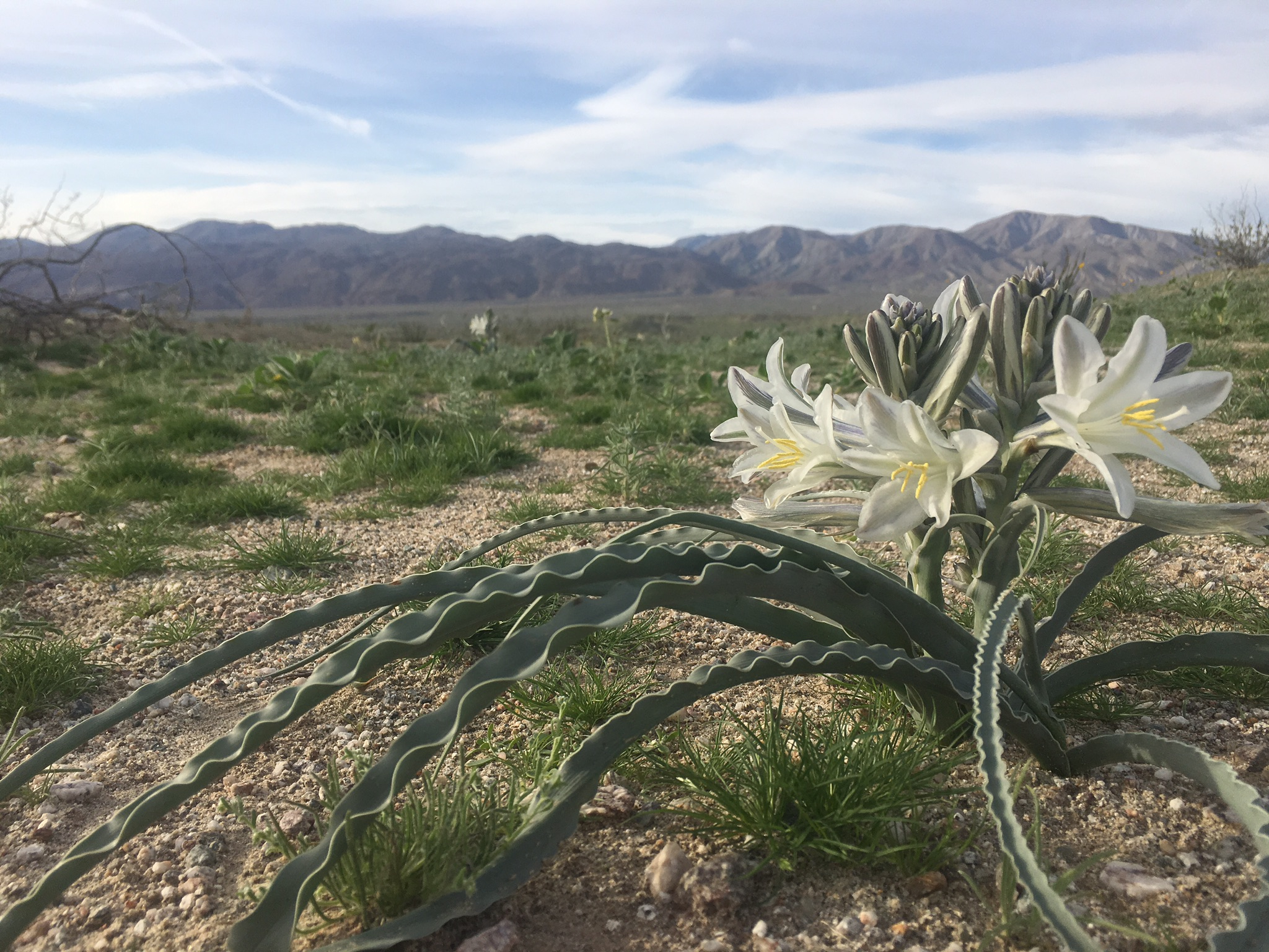 The desert lily (Hesperocallis undulata) emerges through the desert sand after good rainfall. This year there were thousands in bloom in the Anza Borrego Desert, many more than usually seen. Bulbs were waiting, alive under the sand, for a rainy year to reproduce.