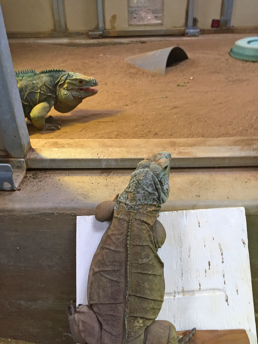 "Introducing a pair of Grand Cayman blue iguanas after they have become acquainted through a ""howdy door."""
