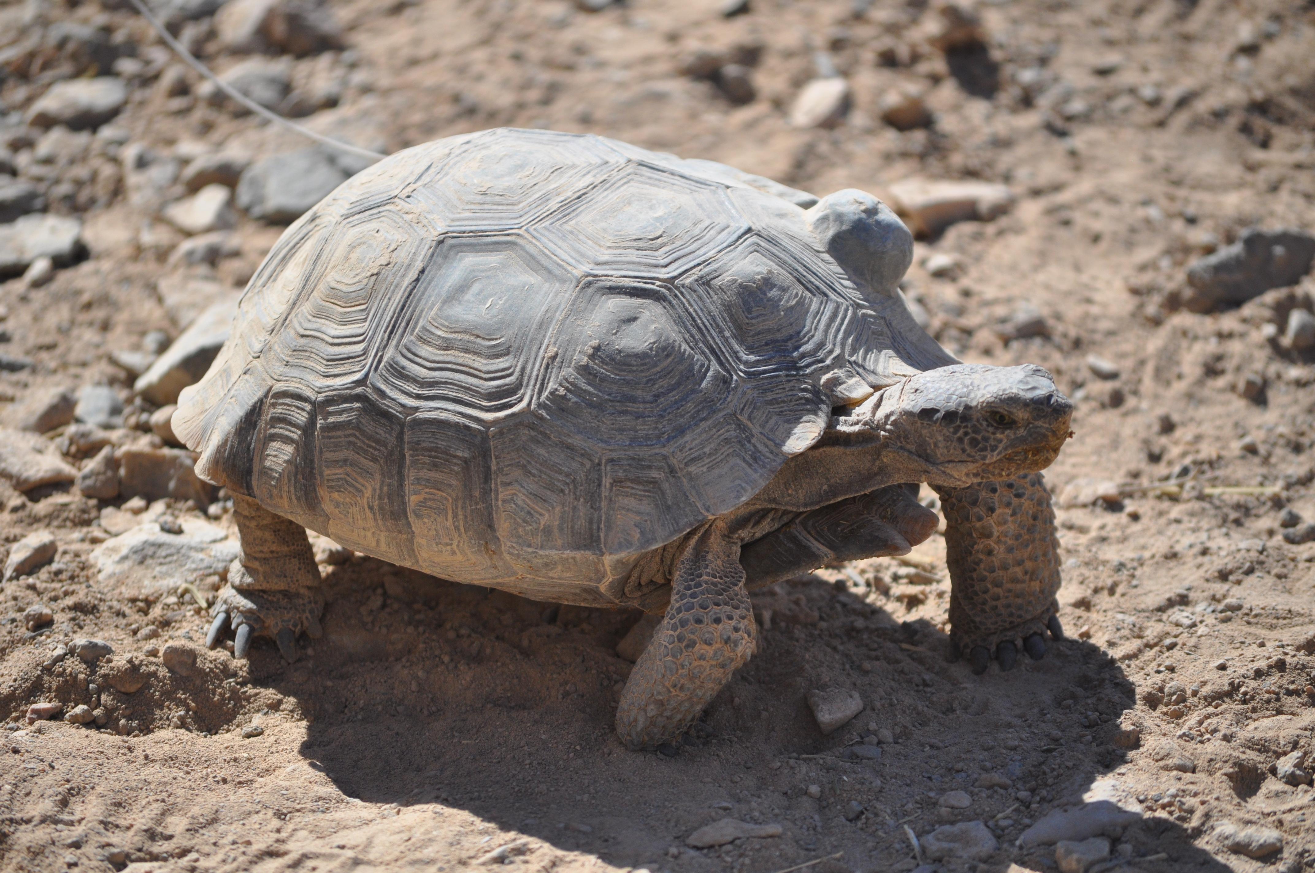 Image result for tortoise in the desert