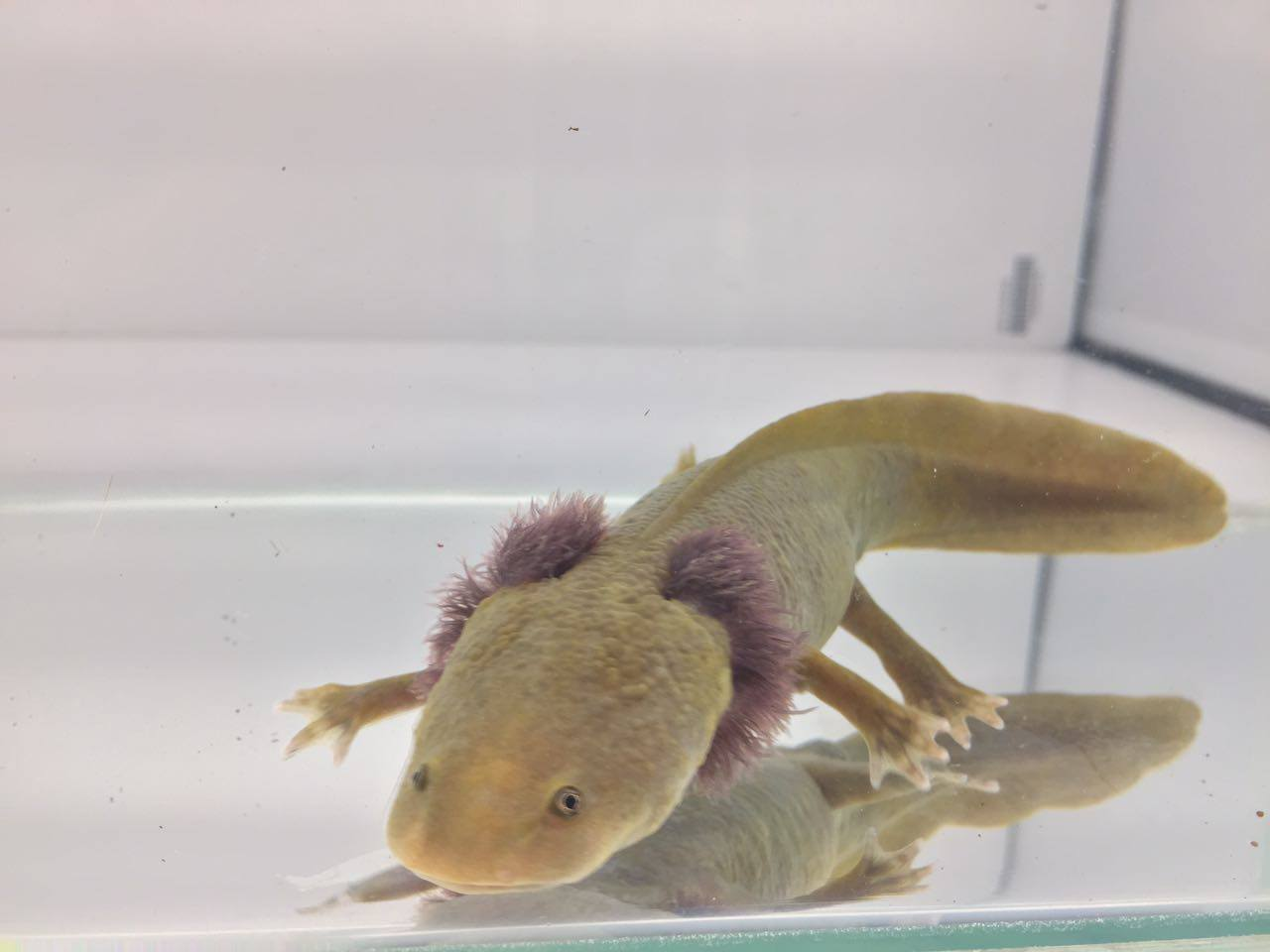 The Lake Patzcuaro salamander, Ambystoma dumerellii, in larval form.  Courtesy of Ambystolab. Photo by Karen Janet Ramos Vazquez, DVM.
