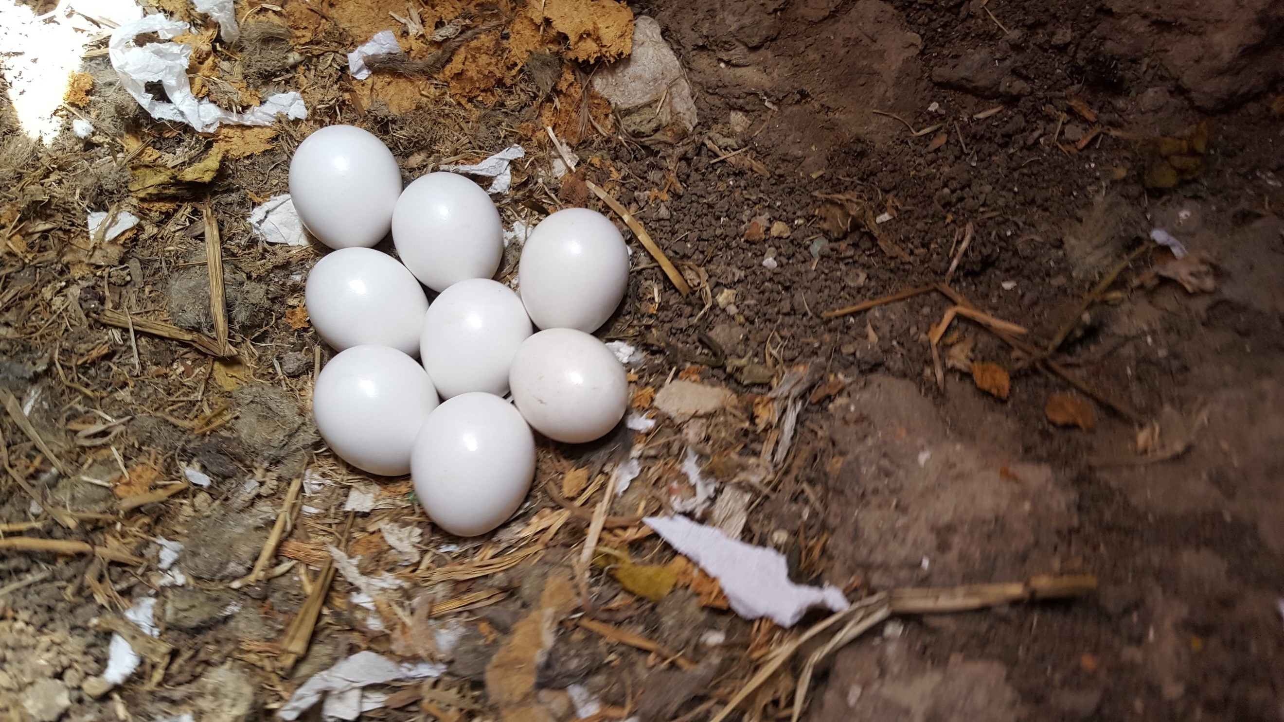 Figure 1. Eight carefully tended burrowing owl eggs in a burrow.