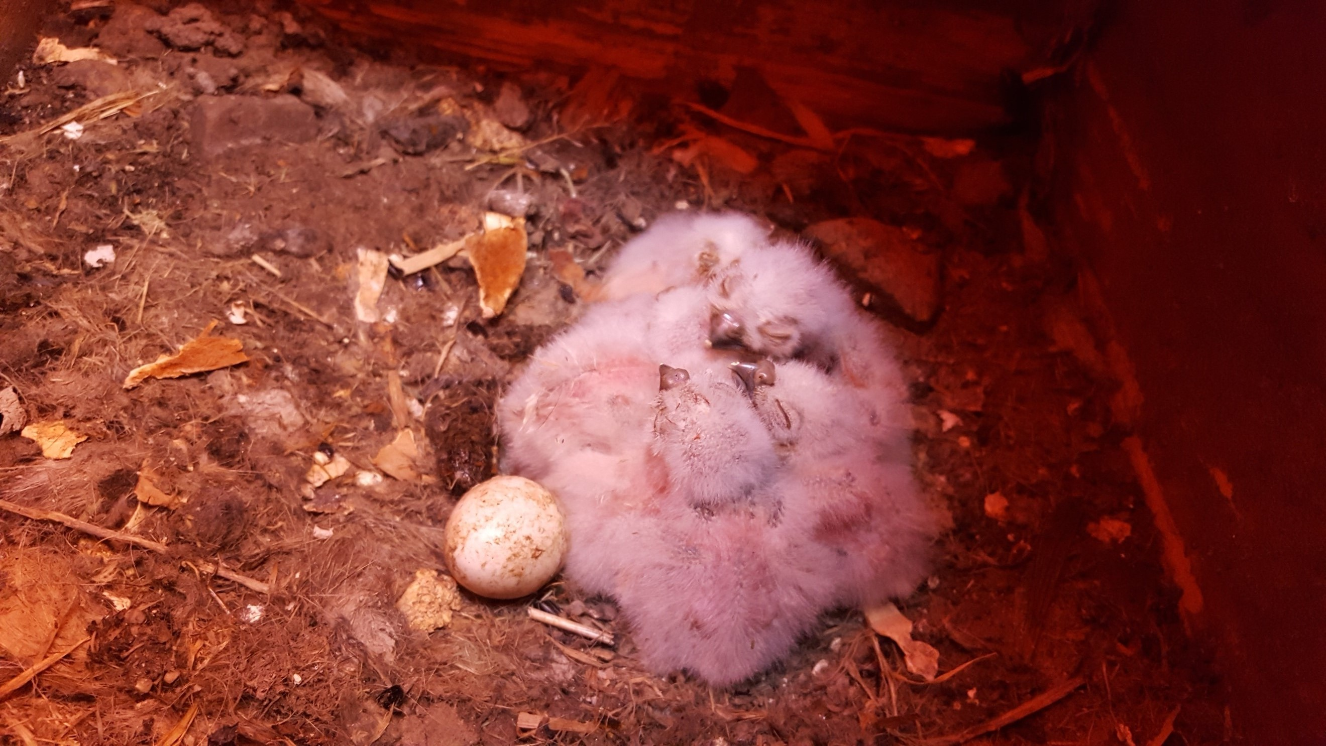 "Figure 2. At least four chicks in a ""cuddle huddle"" next to an unhatched egg."