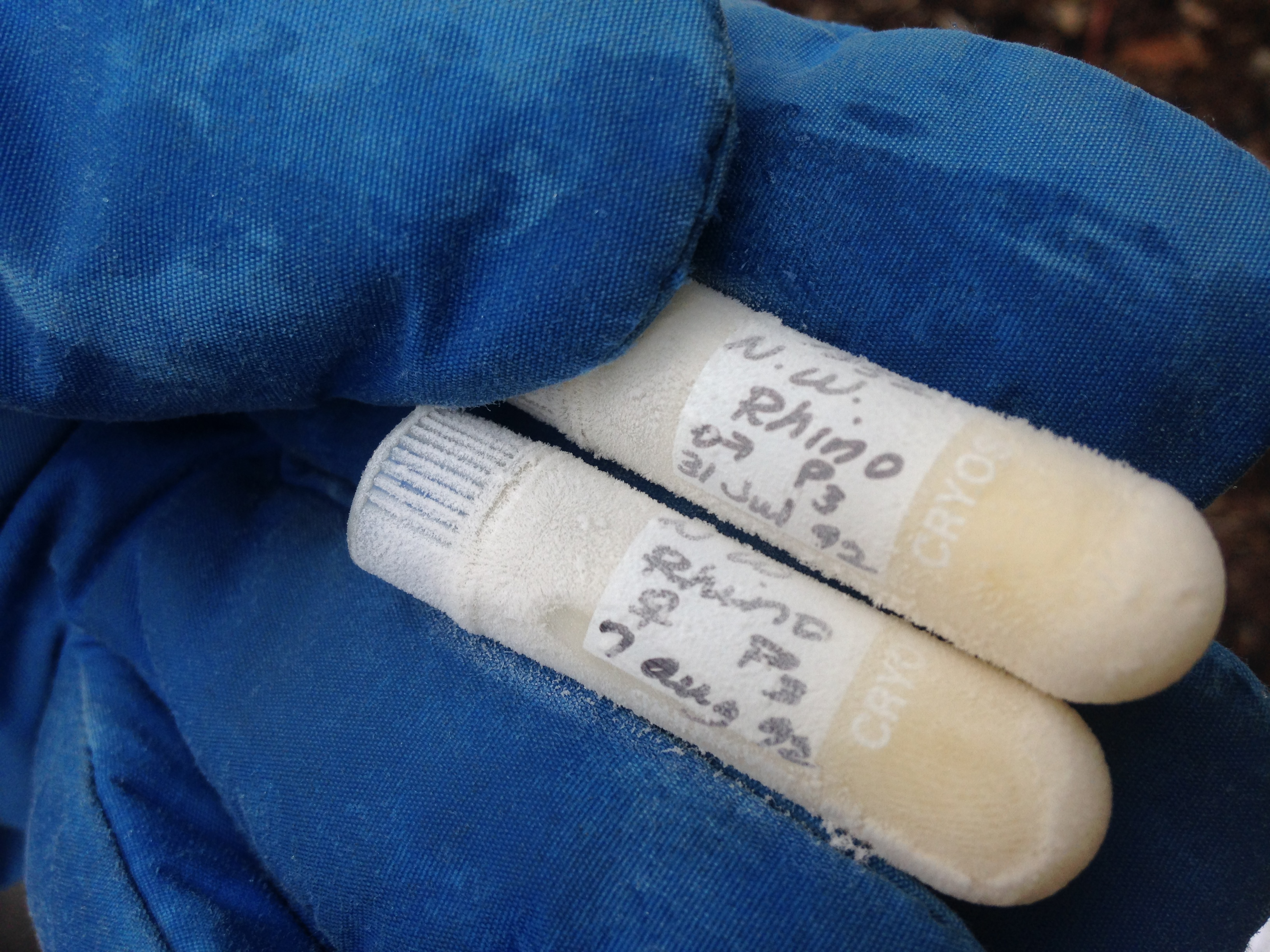 Frozen vials containing cells from a male and female Northern white rhino banked in the Frozen Zoo® in 1992.