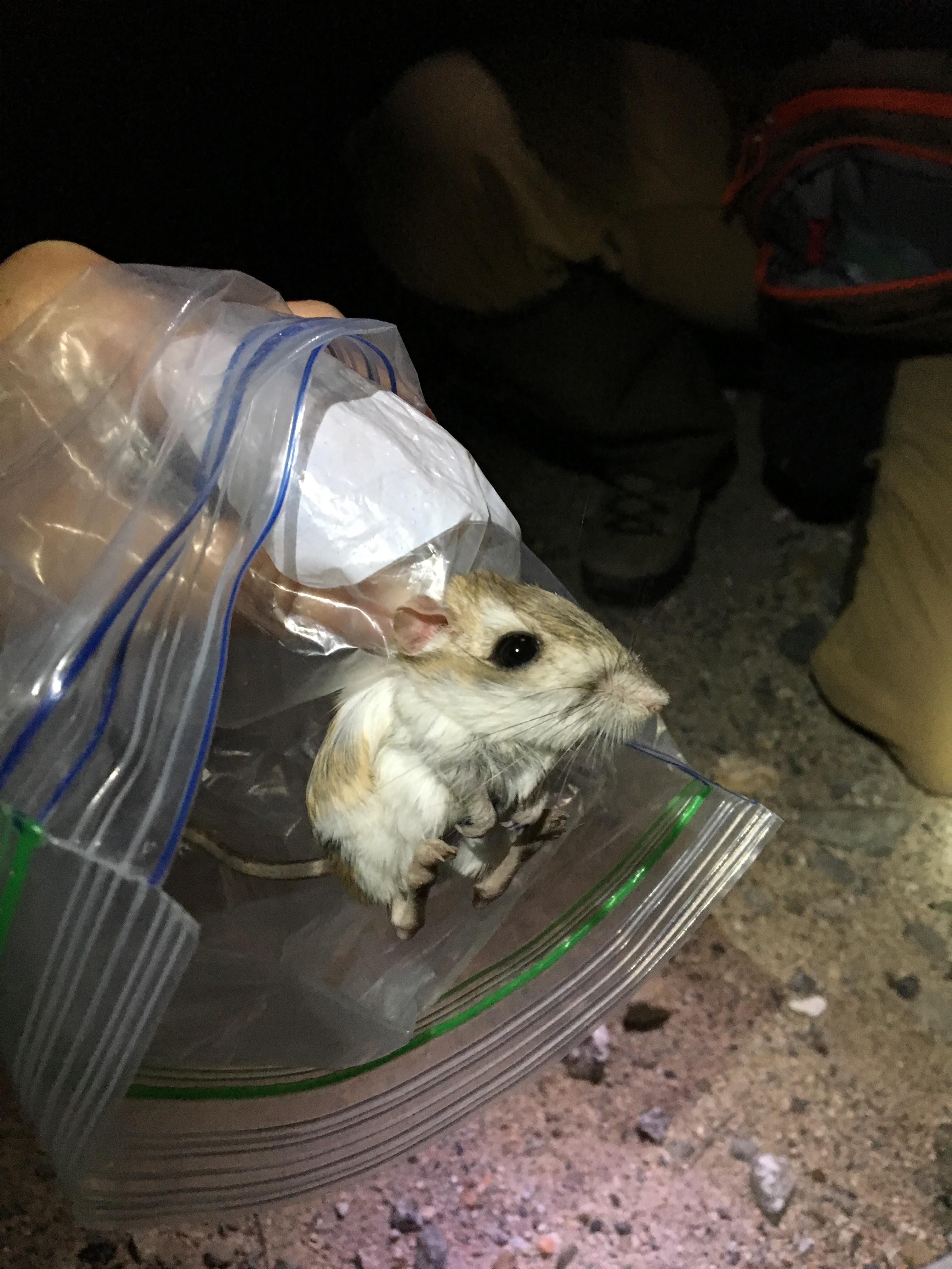 San Bernardino kangaroo rat in a bag.