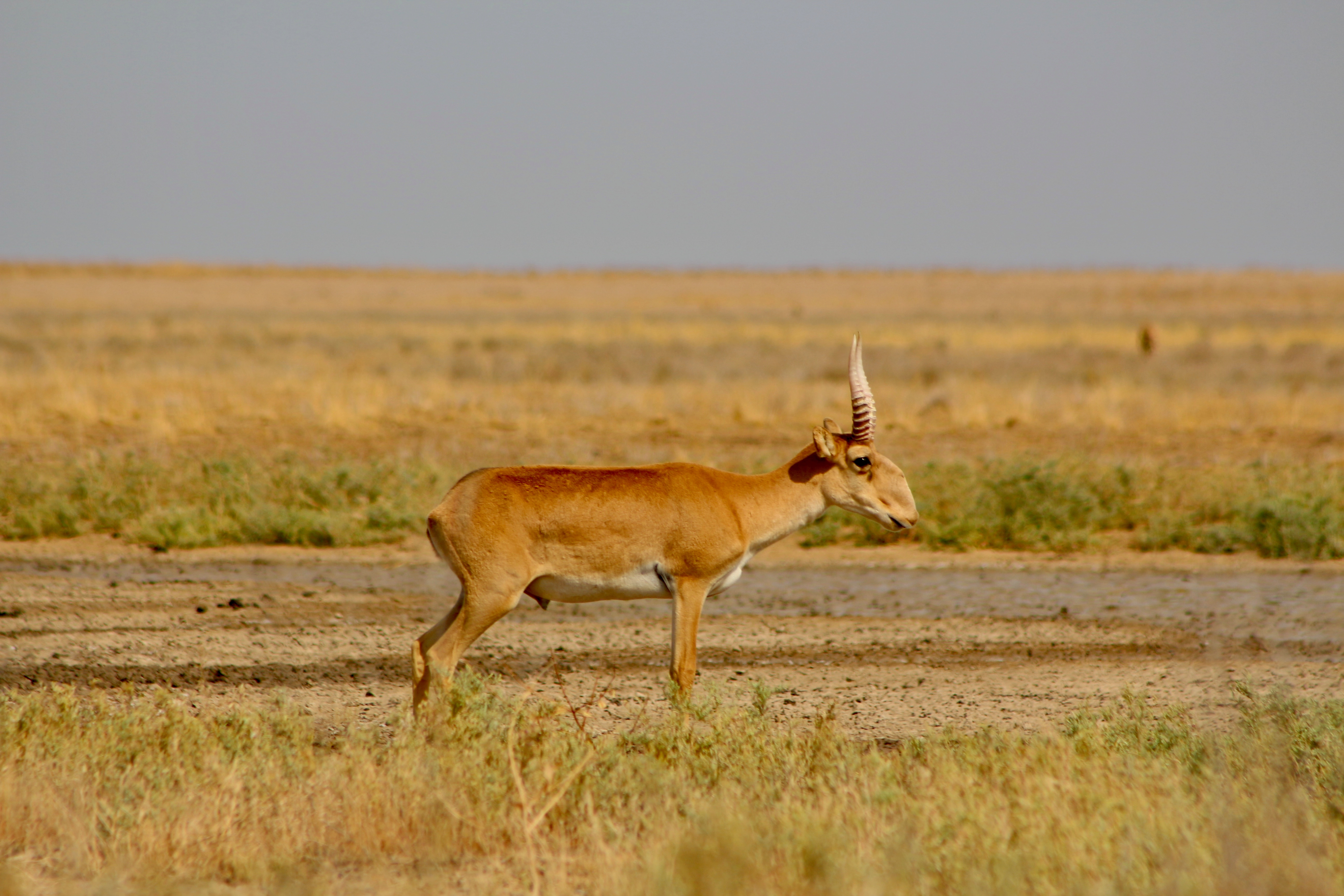 A male saiga. They are hunted heavily for their horns.