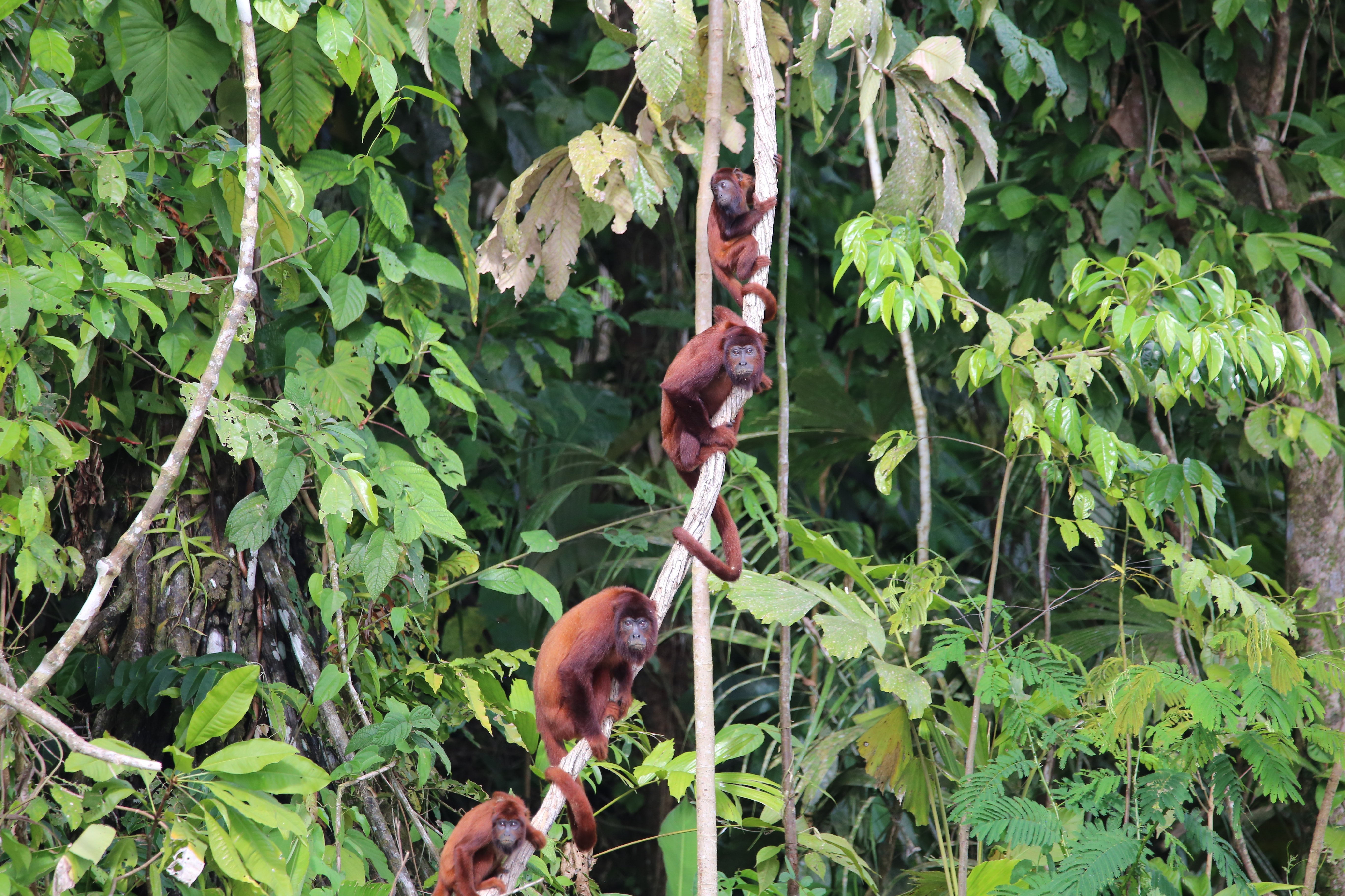 It is no surprise that Cocha Cashu attracts primatologists, as there are few places with as many monkey species. These are red howler monkeys.