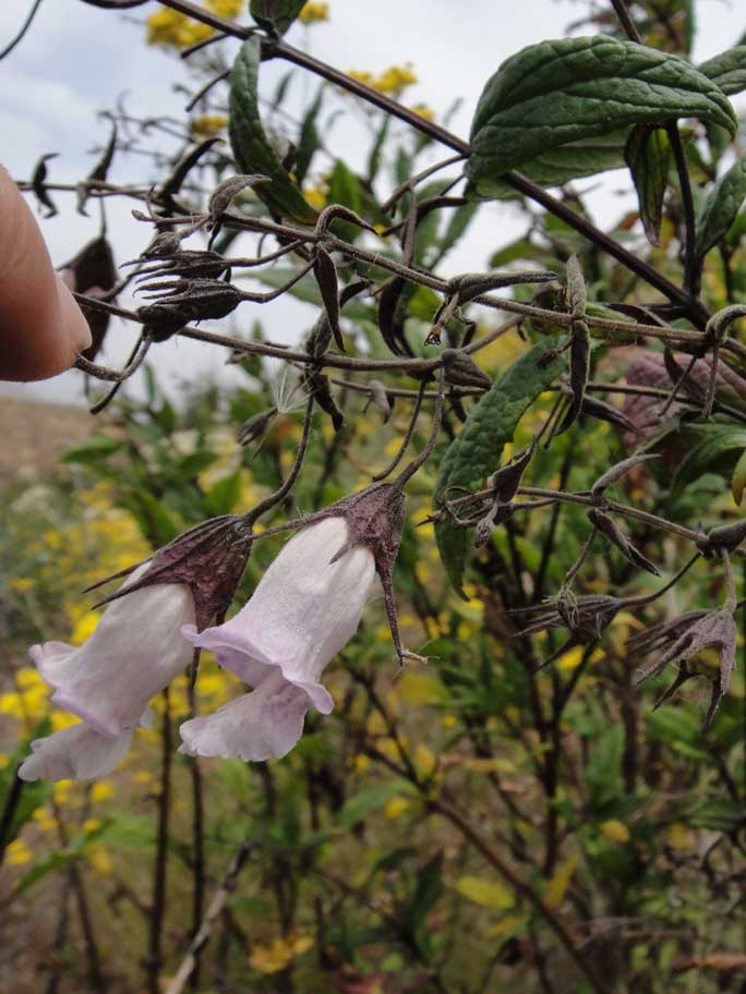 Lepechinia ganderi is a large shrub that gets covered in white bell-shaped flowers and has a distinct smell similar to sage and mint. Photo by Anna Leavitt