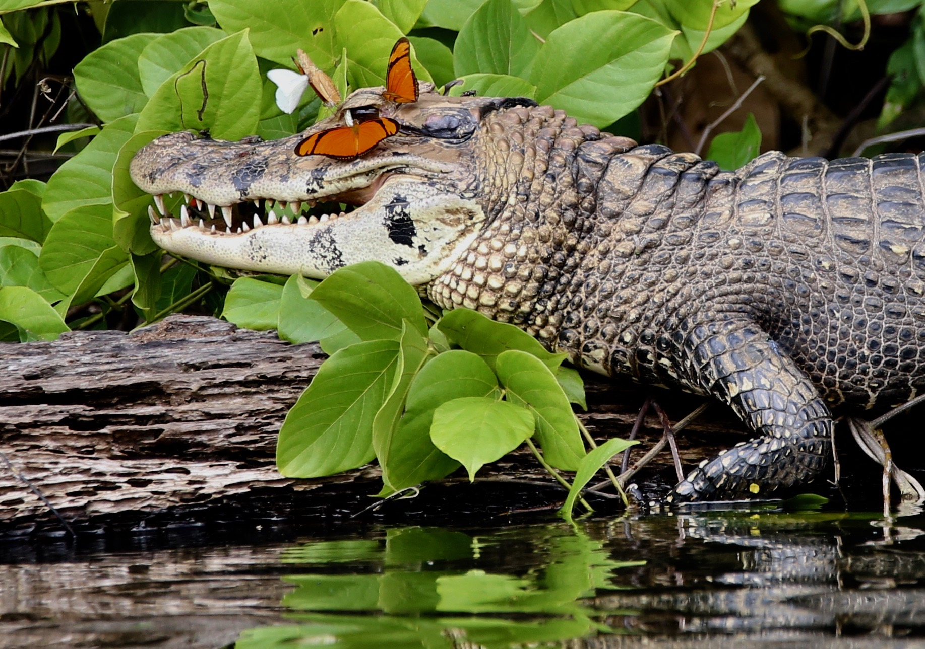 A black caiman proves a safe place for butterflies to alight.