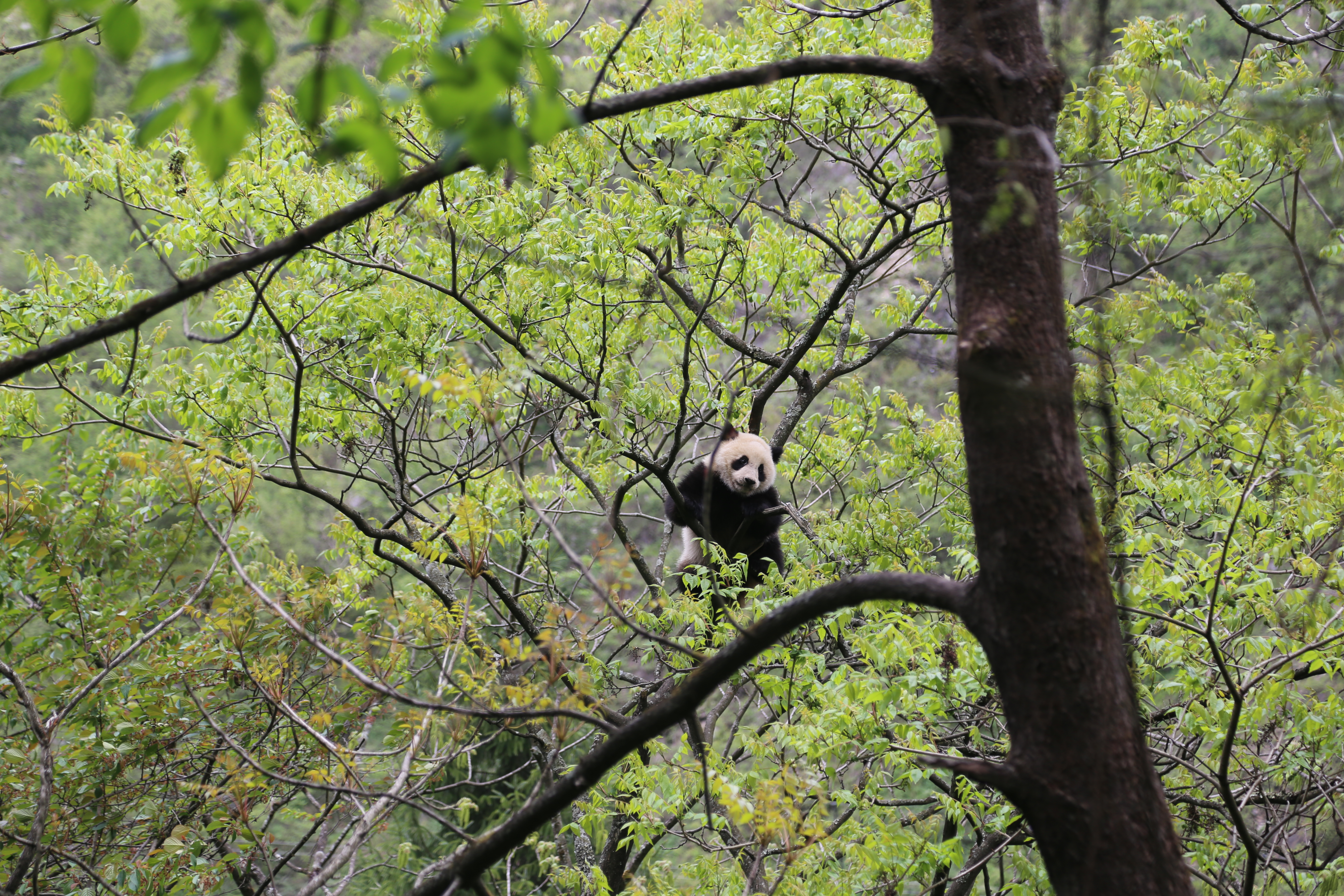 Preparing for release. A young panda destined for reintroduction enjoys hanging out in the trees in his large reintroduction training pen at Wolong's Hetauping reintroduction training facility.