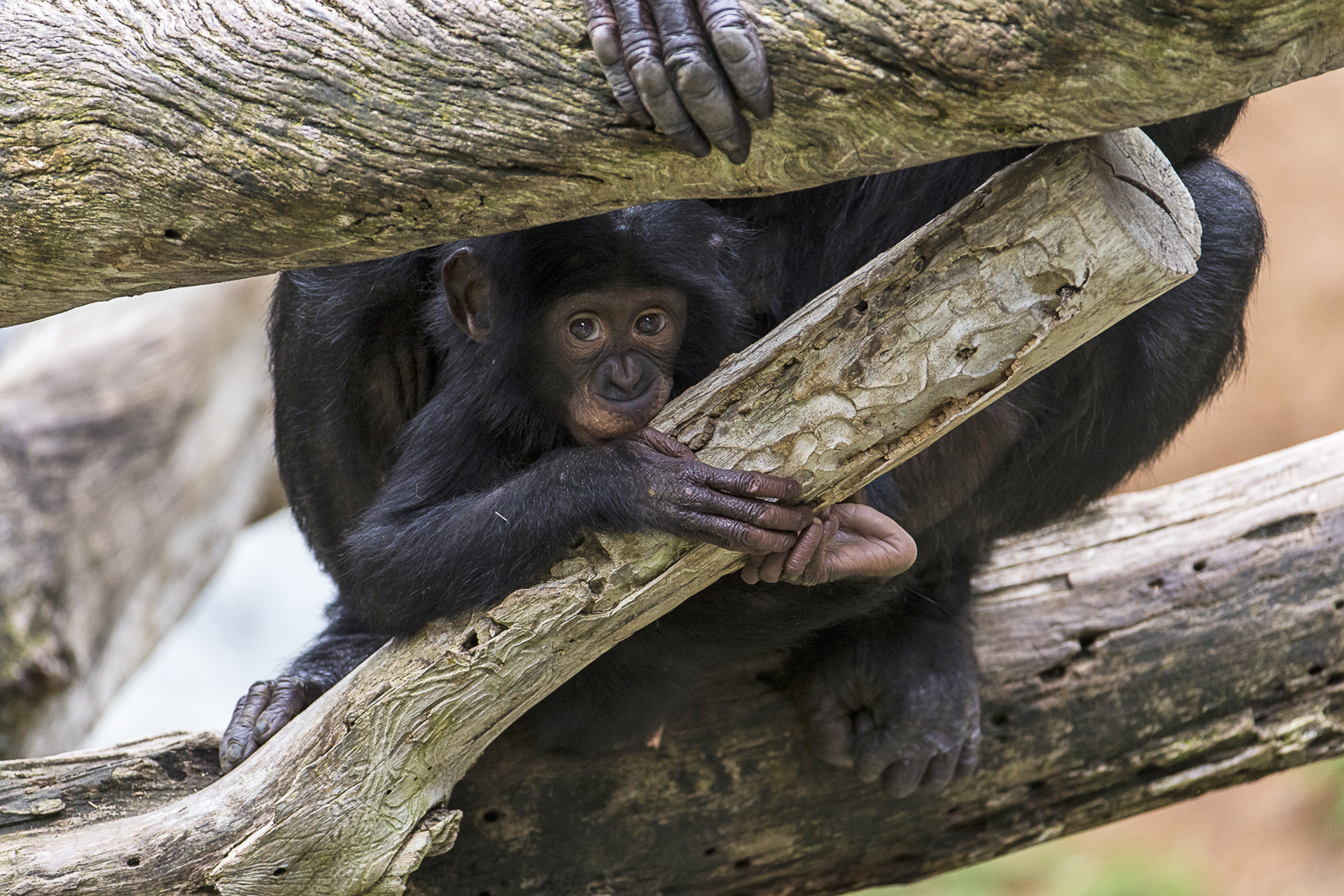 Bonobos are curious, complex, long-lived great apes... a lot like humans.