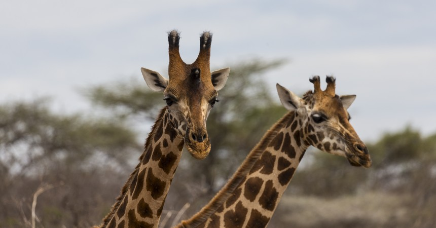 We have taken action with our collaborators and have begun a community-involved giraffe conservation initiative in the vast northern Kenyan rangelands, the last strongholds of the reticulated giraffe (which you can visit at the San Diego Zoo Safari Park).
