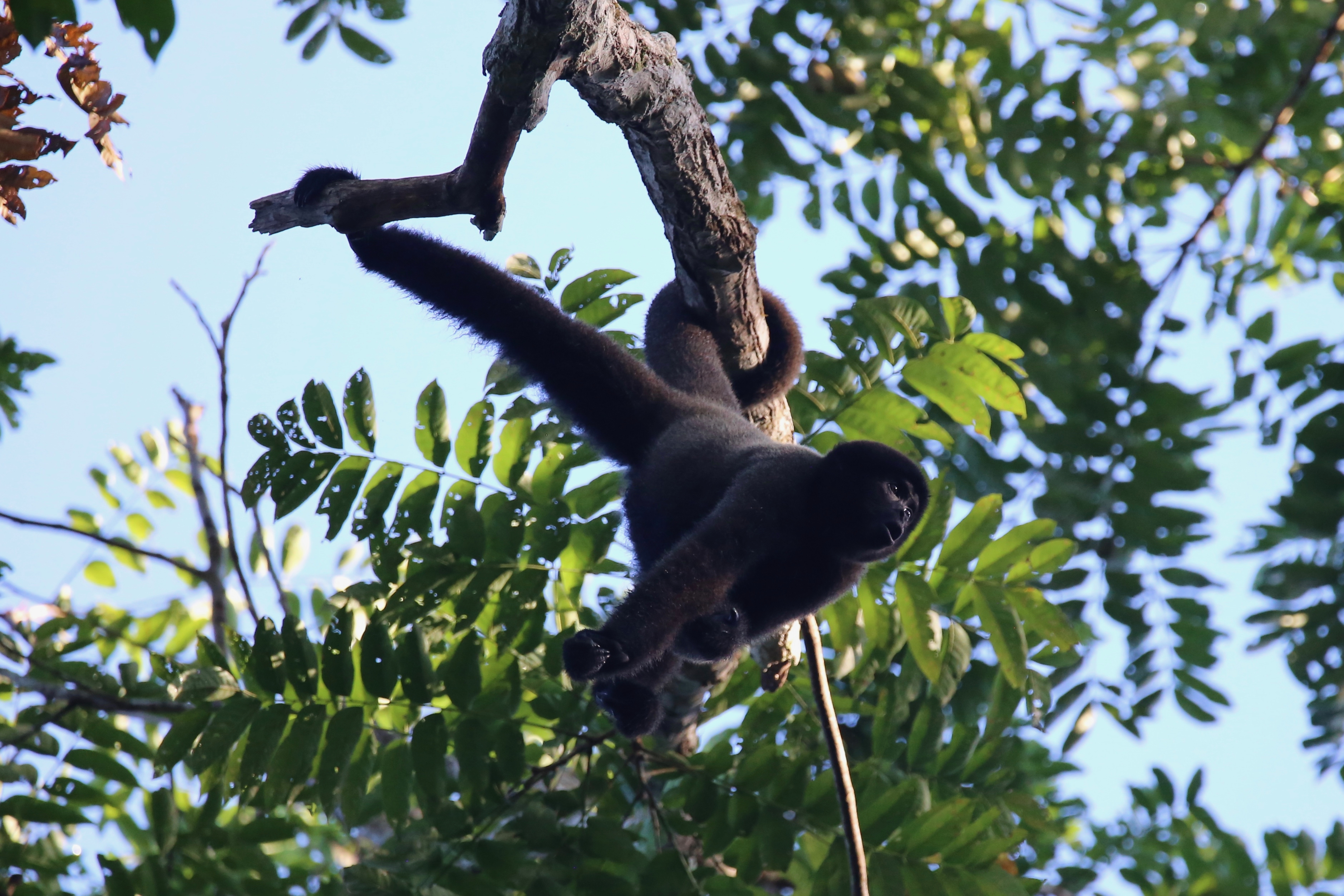 The woolly monkey, the main subject of Nicole's study.