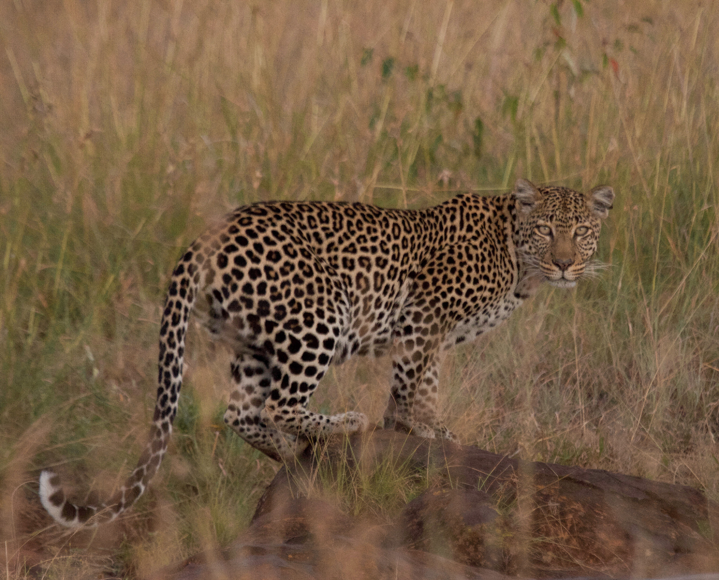 An adult female leopard stares back toward Loisaba Tented Camp where guests stay. Photo opportunities such as these can aid in identifying and tracking the Conservancy's leopards, while providing opportunities for citizen science.  © Dale Scott
