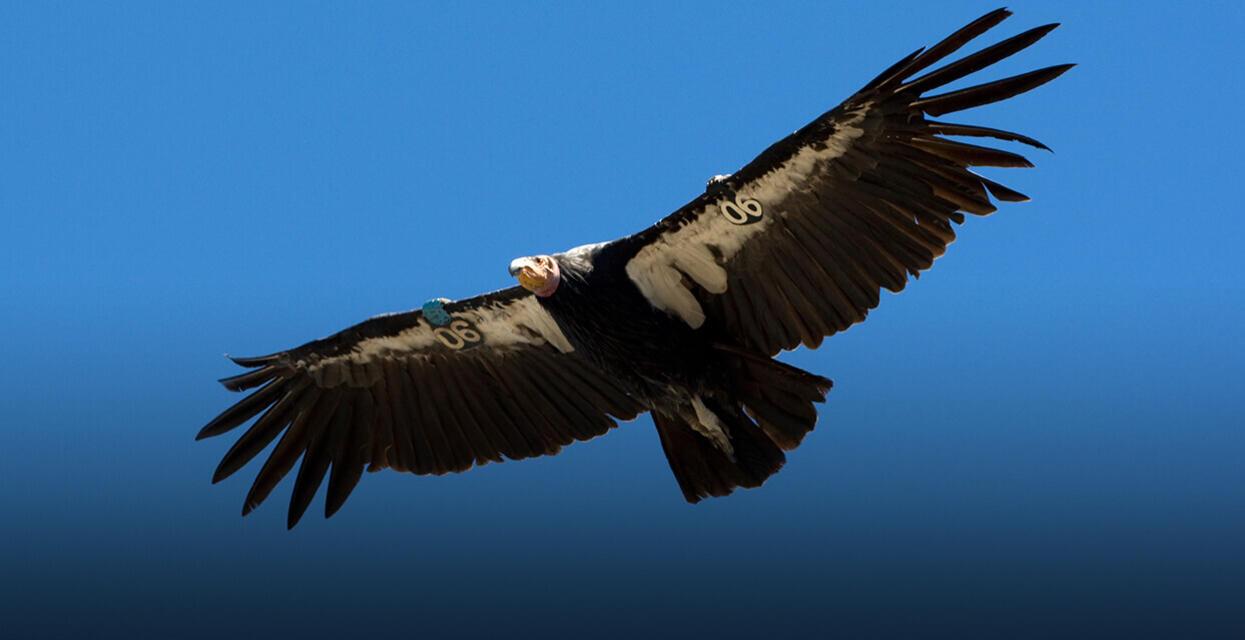 California Condor San Diego Zoo Institute For