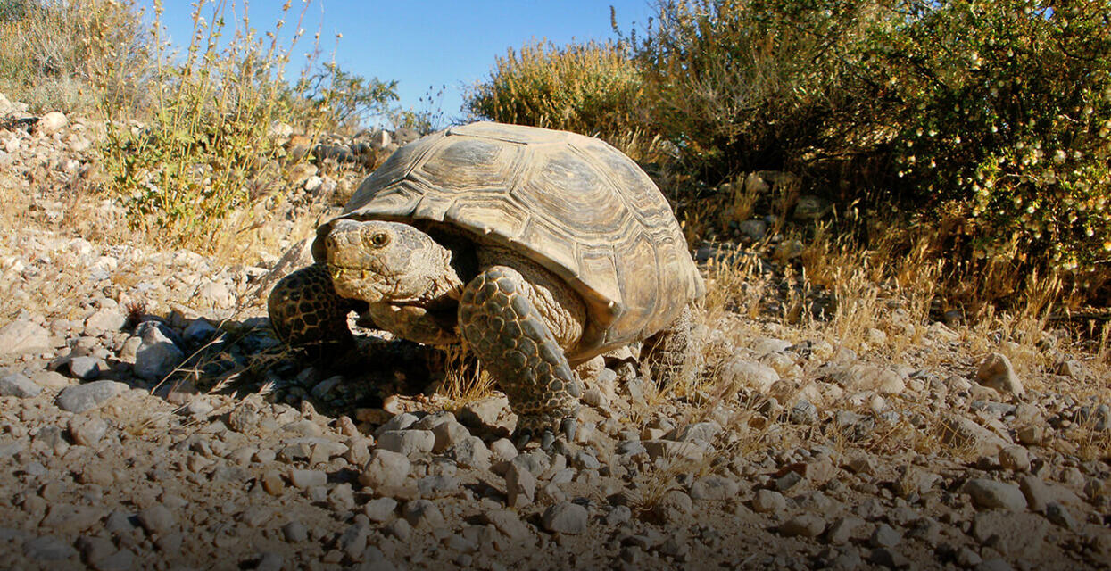 Desert Tortoise | San Diego Zoo Institute for Conservation