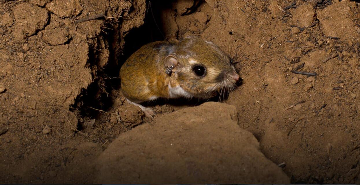Image result for rat digging