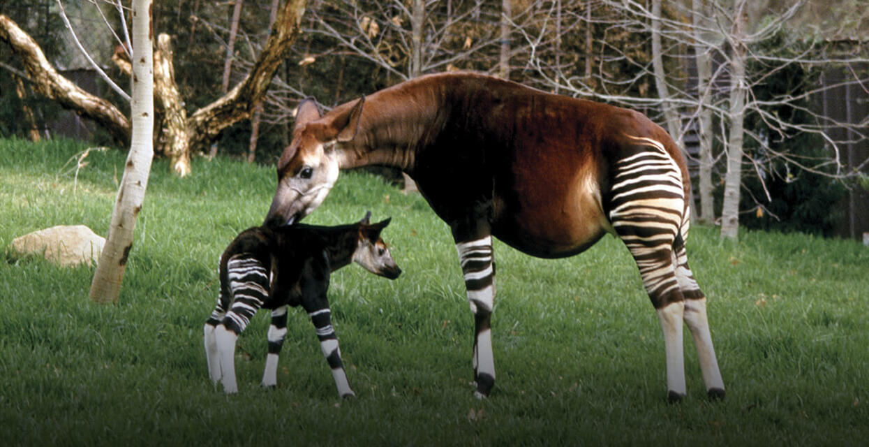 Okapi San Diego Zoo Institute For Conservation Research