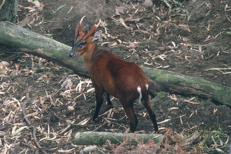 North Indian Muntjac