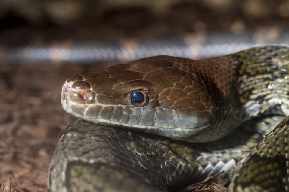 Red-headed Rat Snake
