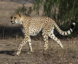 South African Cheetah