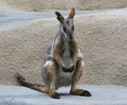 Southern Yellow-footed Rock Wallaby