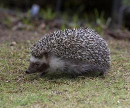Four-toed African Hedgehog