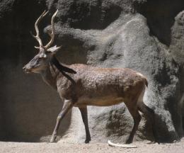 Barbary Red Deer