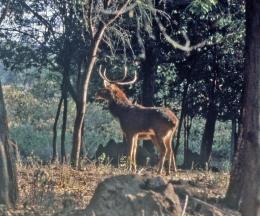 Burmese Thamin