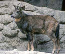 Central Chinese Goral