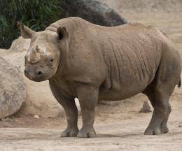 East African Black Rhinoceros