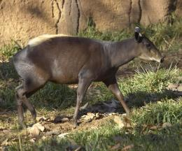 Eastern Yellow-backed Duiker