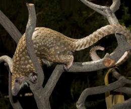 White-bellied Tree Pangolin