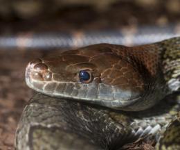 Red-headed Rat Snake