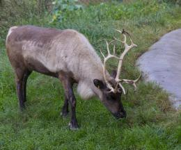 Siberian Reindeer